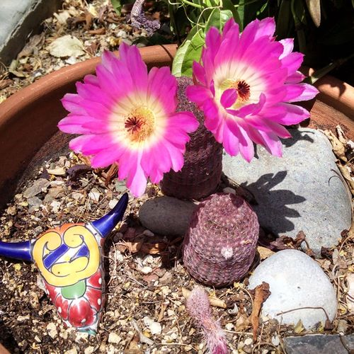 Double-Cereus-Blooms