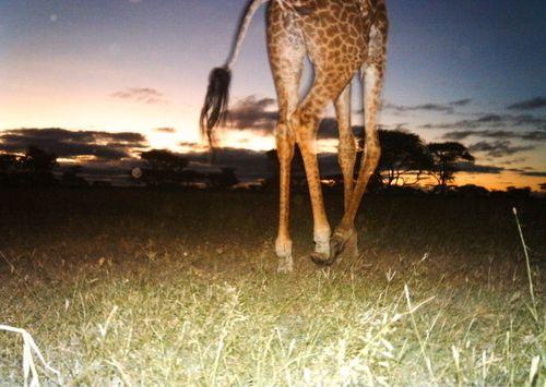 Burdick-Serengeti-03-690