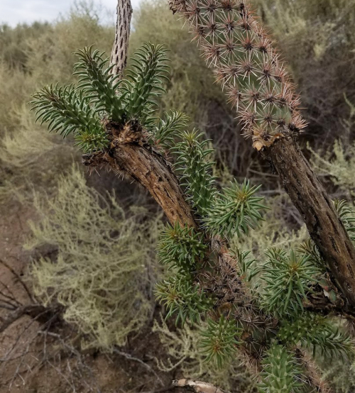 Cholla1cropped