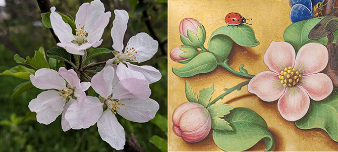Blossoms670